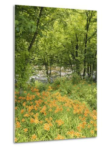 Day Lily Flowers Growing Along Little Pigeon River, Great Smoky Mountains National Park, Tennessee-Adam Jones-Metal Print