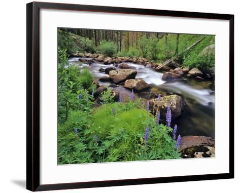 Lupine Along Jacobsen Creek in the Pioneer Range of Montana, USA-Chuck Haney-Framed Art Print