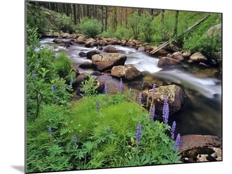 Lupine Along Jacobsen Creek in the Pioneer Range of Montana, USA-Chuck Haney-Mounted Photographic Print