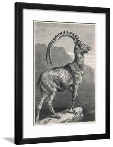 An Ibex, a Member of the Goat Family--Framed Art Print