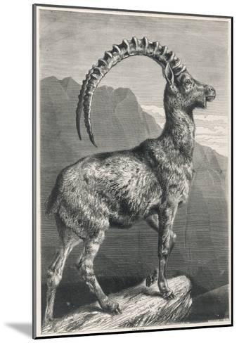 An Ibex, a Member of the Goat Family--Mounted Giclee Print