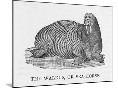 Walrus--Mounted Giclee Print