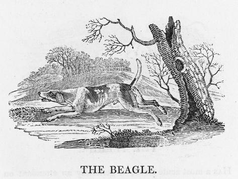 Beagle--Stretched Canvas Print