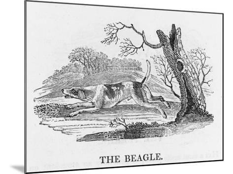 Beagle--Mounted Giclee Print