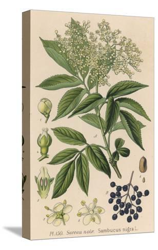 Common Elder--Stretched Canvas Print