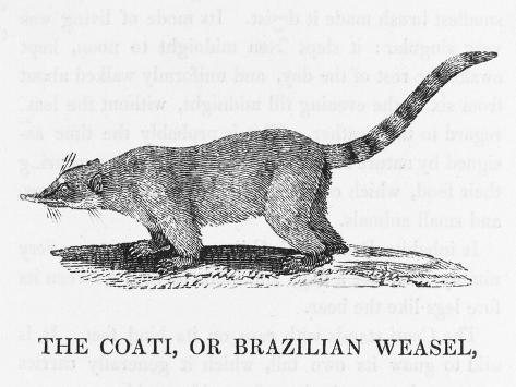 Coati--Stretched Canvas Print