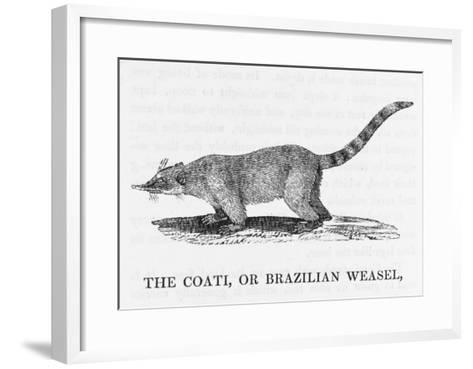 Coati--Framed Art Print