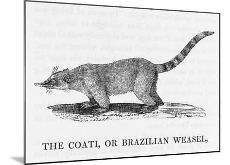 Coati--Mounted Giclee Print