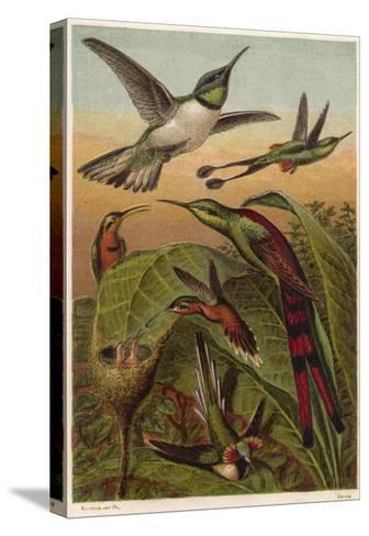 Humming Birds--Stretched Canvas Print