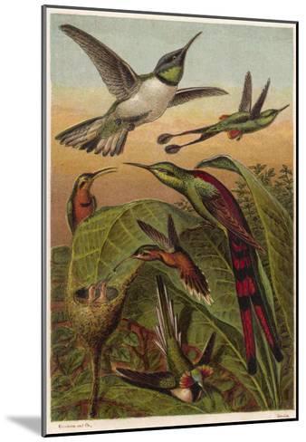 Humming Birds--Mounted Giclee Print