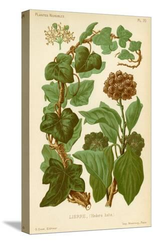 Hedera Helix Ivy--Stretched Canvas Print