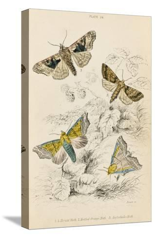Herald Moth (Both Lower Pair) Mottled Orange Moth Angleshades Moth--Stretched Canvas Print