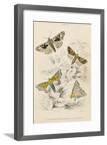 Herald Moth (Both Lower Pair) Mottled Orange Moth Angleshades Moth--Framed Art Print