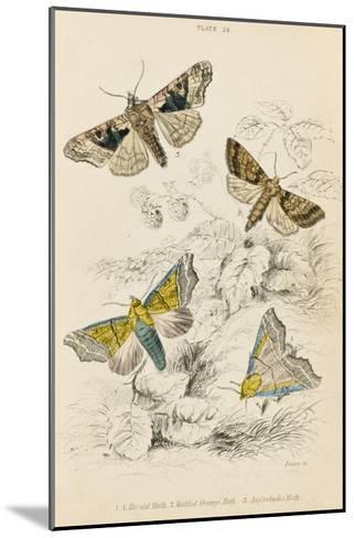 Herald Moth (Both Lower Pair) Mottled Orange Moth Angleshades Moth--Mounted Giclee Print