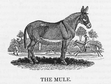 Mule--Stretched Canvas Print
