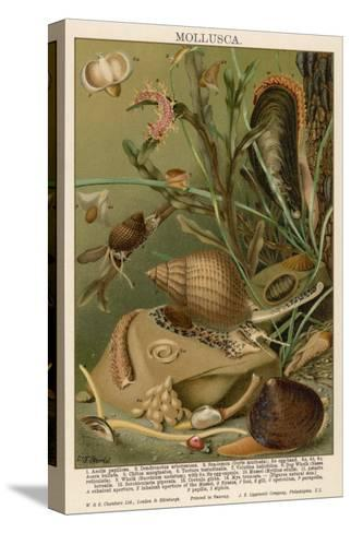 Mollusks / Sealife--Stretched Canvas Print