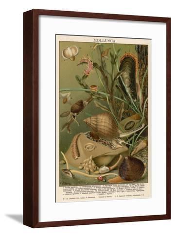 Mollusks / Sealife--Framed Art Print