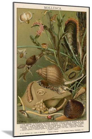 Mollusks / Sealife--Mounted Giclee Print