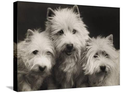 Three Westie Heads All Owned by Miss De Berry--Stretched Canvas Print