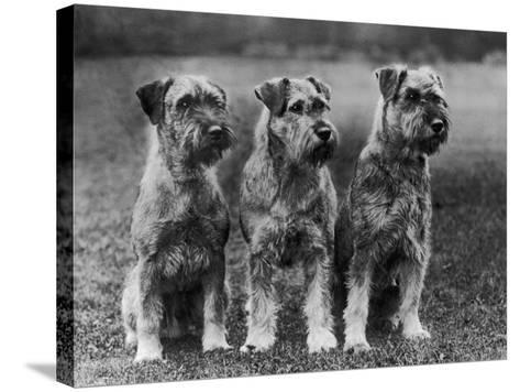 Three Schnauzers Sitting Together--Stretched Canvas Print
