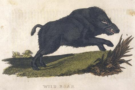 Wild Boar 1814--Stretched Canvas Print