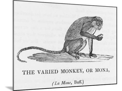 Varied Monkey--Mounted Giclee Print