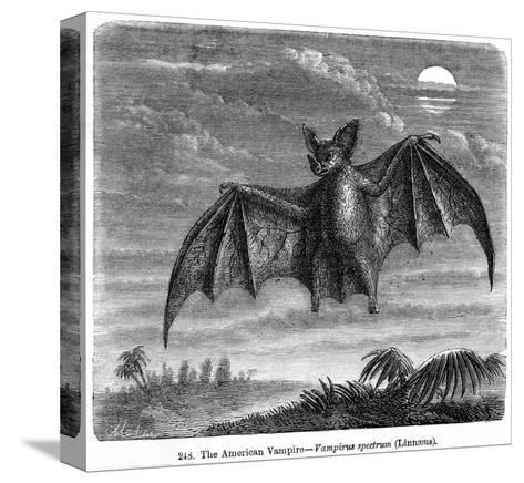 Vampire Bat--Stretched Canvas Print