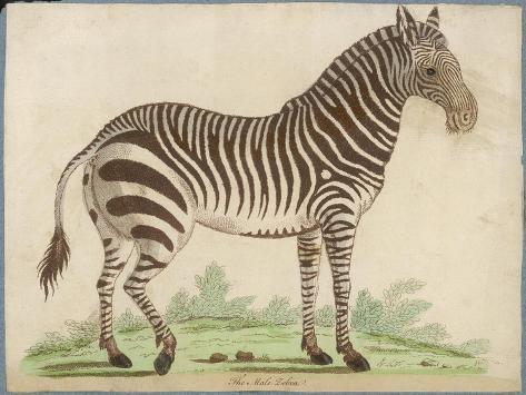 Zebra--Stretched Canvas Print