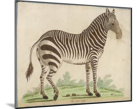 Zebra--Mounted Giclee Print