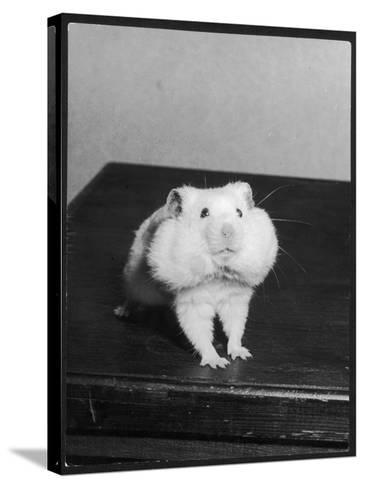 A Hamster with its Pouches Stuffed with Food--Stretched Canvas Print