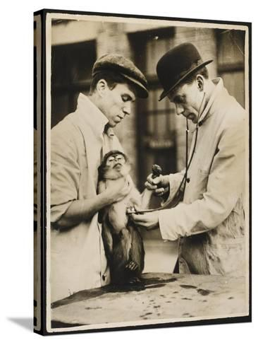 A Veterinary Surgeon and His Assistant Test a Monkey's Lungs at the Zoo Hospital--Stretched Canvas Print