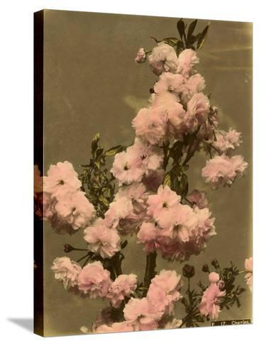 Cherry Blossom on a Branch--Stretched Canvas Print