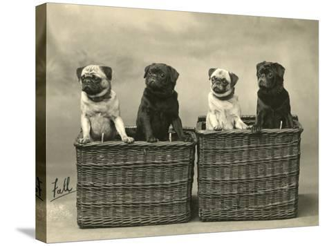 Pug 1926--Stretched Canvas Print