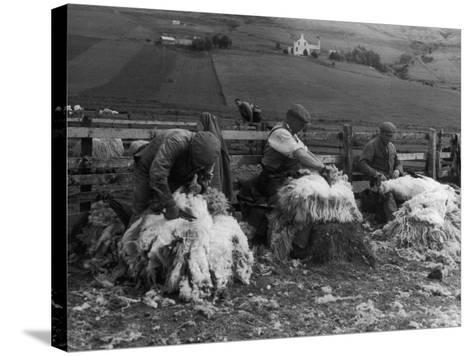 Sheep Shearing at Carbost, Isle of Skye, Scotland--Stretched Canvas Print
