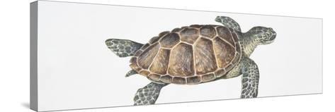Green Turtle (Chelonia Mydas), Illustration--Stretched Canvas Print