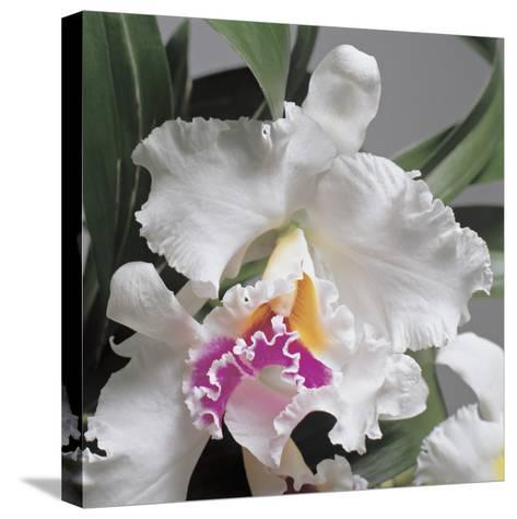 Close-Up of Cattleya Flowers-G^ Cigolini-Stretched Canvas Print