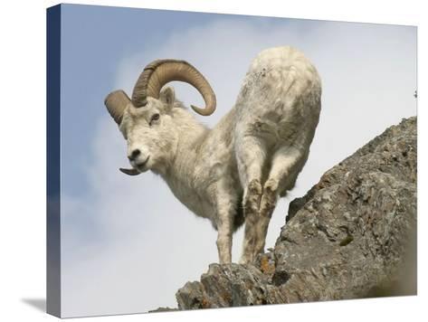 Alaska, Anchorage, Precarious Perch: 50,000 Dall Sheep Call Alaska Home-Bill Roth-Stretched Canvas Print