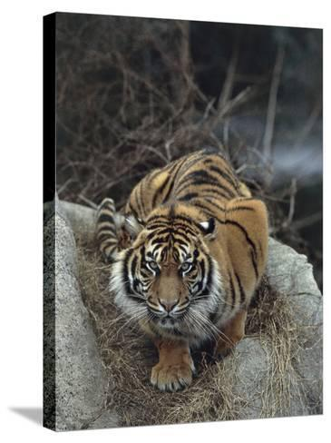 Close-Up of a Sumatran Tiger, Indonesia (Panthera Tigris Sumatrae)-C^ Dani I^ Jeske-Stretched Canvas Print