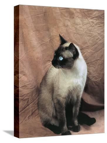 Close-Up of a Chocolate Point Siamese Cat-D^ Robotti-Stretched Canvas Print