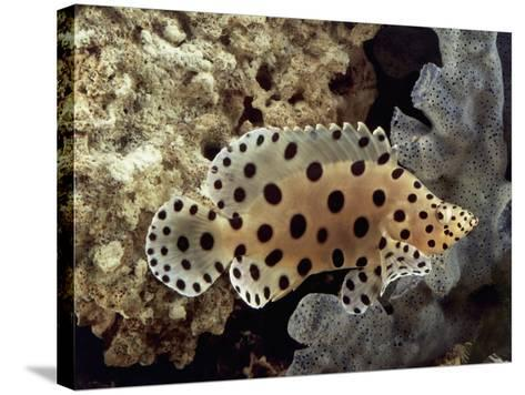 Close-Up of a Panther Grouper Fish Swimming Underwater (Chromileptes Altivelis)-C^ Dani-Stretched Canvas Print
