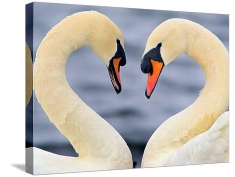 Love Swans-Darren Stone-Stretched Canvas Print