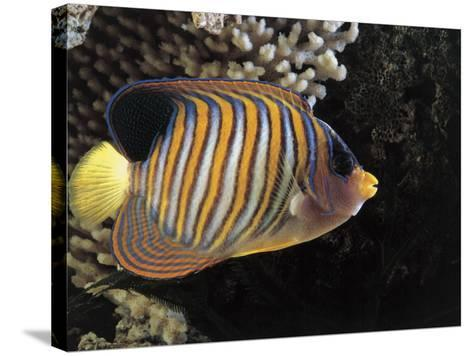 Close-Up of a Royal Angelfish Swimming Underwater (Pygoplites Diacanthus)-C^ Dani-Stretched Canvas Print