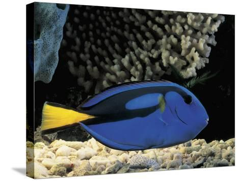 Close-Up of a Surgeonfish Swimming Underwater (Paracanthurus Hepatus)-C^ Dani-Stretched Canvas Print