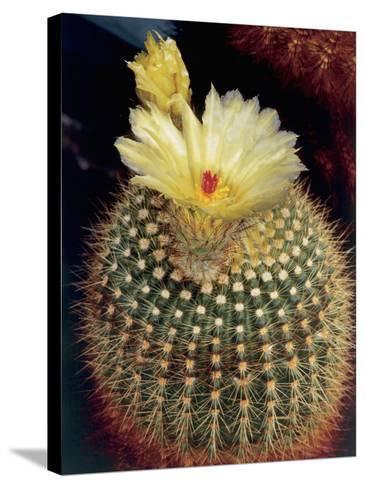 Close-Up of a Tom Thumb Cactus Flowers (Notocactus Mammulosus)-C^ Dani-Stretched Canvas Print