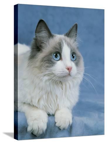 Close-Up of a Blue Bicolor Ragdoll Cat-D^ Robotti-Stretched Canvas Print