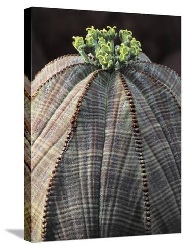 Close-Up of a Baseball Plant (Euphorbia Obesa)-C^ Dani-Stretched Canvas Print