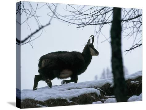 Side Profile of a Chamois Running, Gran Paradiso National Park, Valle D'Aosta, Italy-F^ Liverani-Stretched Canvas Print