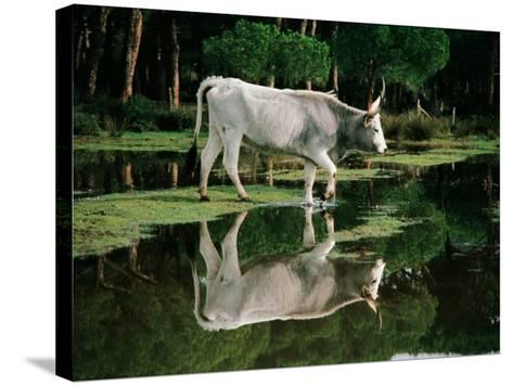 Italy - Tuscany Region - Uccellina Park - Maremma Cow--Stretched Canvas Print
