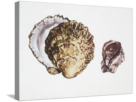 Saddle Oyster (Anomia Ephippium), Illustration--Stretched Canvas Print