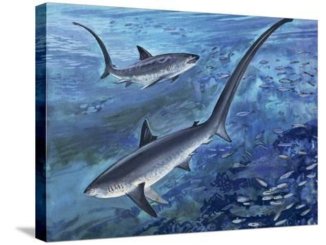 Long Tailed Thresher Shark Swimming Underwater (Alopias Vulpinus)--Stretched Canvas Print